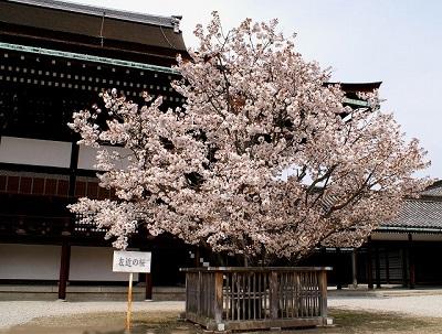 京都御所左近の桜