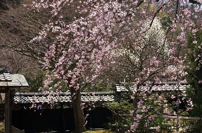 東慶寺しだれ桜