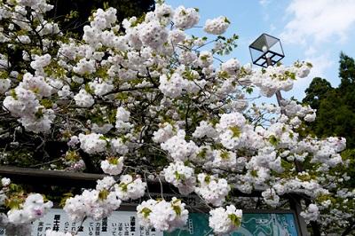 延暦寺西塔の八重桜